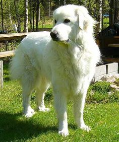 Great Pyrenees- our future dog...