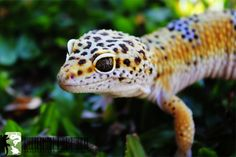 Leopard Gecko Lifespan as Pets (Care, Facts and Information)