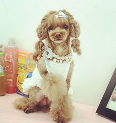Adorable Poodle ♥ Poodle Grooming, Dog Grooming Tips, Cutest Small Dog Breeds, Dog Salon, Chinese Dog, Pet Boarding, Creative Grooming, Mini Dogs, Poodle Haircut