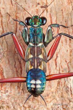Metallyticus splendidus - Buscar con Google