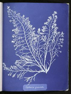 Cyanotypes of British Algae by Anna Atkins (1843) | The Public Domain Review