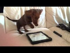 A Puppy Plays With An IPad - What Happens Next Is Priceless - http://www.dogisto.com/a-puppy-plays-with-an-ipad-what-happens-next-is-priceless/