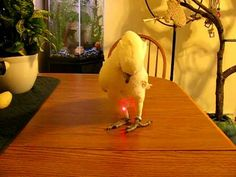 Cockatoo + laser pointer @Jennifer Dunger @Karen Dunger can we try???