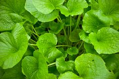 Wasabi Leaves, Apparently Edible in salads, pickled, and fried chips