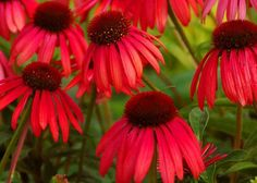 Firebird Coneflower Seeds -Echinacea purpurea 100 Seeds