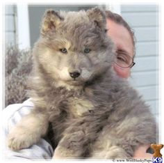 Blue Wolf Cross Hybrids Hello and thank you for checking out our ad! We have the most beautiful rare blue wolf dog puppies due from the same lines as the . Wolf Puppies For Sale, Wolf Hybrid Puppies, Dogs And Puppies, Shepherd Mix Puppies, German Shepherd Dogs, Animals And Pets, Baby Animals, Cute Animals, Fox Terrier
