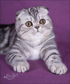 Scotish Fold Cat - Beautiful and different ideas Munchkin Cat Scottish Fold, Scottish Fold Kittens, Kittens Cutest, Cats And Kittens, Dwarf Cat, Himalaya, Cat Wallpaper, Domestic Cat, Beautiful Cats