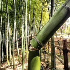 いつもの散歩道。早朝の地震で数カ所の亀裂があったけど、この竹は人為的…。