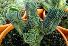 12 Weird Succulents that will Blow your Mind - Cantina Different Types Of Succulents, Types Of Succulents Plants, Succulents Online, Weird Plants, Colorful Succulents, Unusual Plants, Cool Plants, Cacti And Succulents, Planting Succulents