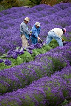 Sequim, WA Lavender harvesting