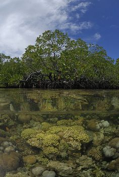 Mangrove forests wif many coral species in mangrove lagoons in Kabupaten, Raja Ampat, West Papua_ Indonesia