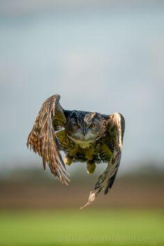 Flight of the Eagle Owl
