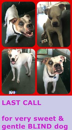 NIKKI A1681243 Blind dog , last call, please!!!!!!!!!!!!! up to tomorrow . this pet qualify for SUN program category A-2!! Almost totally blind, bumps into kennel walls and door, yet stool plays with a squeaker toy and gave me paw when I pet her! She is NIKKI 5 yo am bulldog girl #A1681243 at MDAS — hier: Miami Dade County Animal Services. https://www.facebook.com/urgentdogsofmiami/photos/pb.191859757515102.-2207520000.1425080760./935879936446410/?type=3&theater