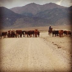 Cattle Drive Cattle Drive, Nevada, Cow, Animals, Painting, Beautiful, Animales, Animaux, Painting Art