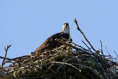 Mama Osprey Giving us the Eyeball Osprey Nest, Year 6, Pictures Of The Week, Bald Eagle