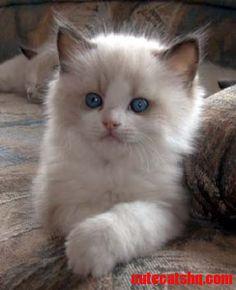 Ragdoll cats  - http://cutecatshq.com/about-cats/ragdoll-cats/