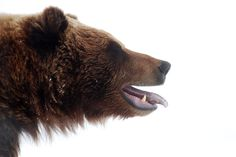 Snow Grizzly Bear.