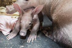 Aardvark Kaatie (3) by Tom Roy