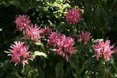 Brazilian plume flower - Justicia carnea Edge of shade shrub, try under jacaranda