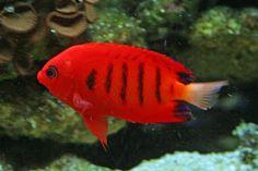 """Flame angelfsh também chamado simplesmente de flame angel (""""anjo-de-fogo""""), Centropyge loricula é um peixe-anjo marinho da família Pomacanthidae encontrado em águas tropicais do Oceano Pacífico."""