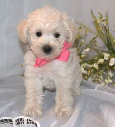 white schnoodle puppy