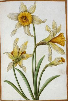 aleyma:  Antoine du Pinet, Narcissus pseudo-narcissus L.Daffodils, 16th century (source).