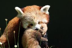 Red panda and cub at Dublin Zoo - I absolutely love these guys! Saw them last Sunday so cute & adorable! Fair play to @Dublin Zoo for their wonderful care in looking after all their animals