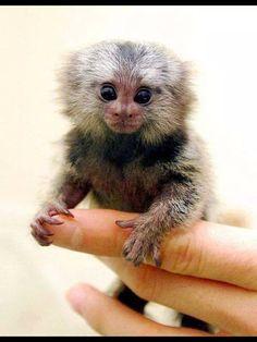 Ouistiti, le plus petit singe au monde ;)