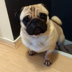 Bathed and ready for American cousin's visit! When will she be here? I want to show her the guest bedroom ~Bertje #pug