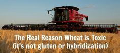 The real reason you need to stop eating toxic wheat even if you don't currently have a wheat or gluten sensitivity.