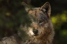 Wolf - captive by Impisi on Flickr.