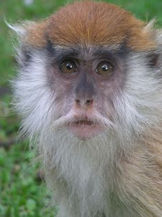 Monkey | File:Patas monkey baby looks.jpg - Wikipedia, the free encyclopedia