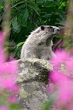Hoary Marmot Photos