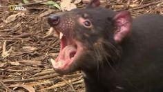 Il diavolo della #Tasmania, Into the Wild - NatGeoFan #Video