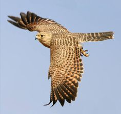 Falcon. Beautiful