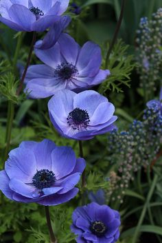 ~~Blue Flowers at Longwood Gardens . Blue Anemone by beingbailey~~ Exotic Flowers, Amazing Flowers, My Flower, Purple Flowers, Beautiful Flowers, Flower Power, Anemone Flower, Flowers Nature, Purple Poppies