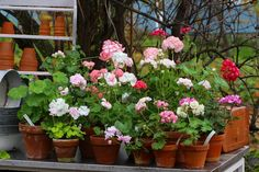 Ruusunmekko - Pelargonit: Ruusunmekko syntyi vuonna 2004 rakkaudesta ruusui...