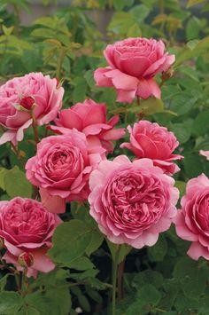 Princess Alexandra of Kent - David Austin English Roses - Old Garden Roses - Rose Catalog - Tasman Bay Roses - Buy Roses Online in New Zealand