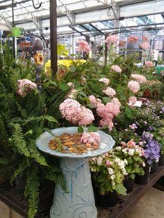 Garden Centre Displays Beautiful Blue Bird Bath Hydrangeas And Begonias My Own Display Lowe S