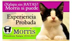 Morris is the favorite to become Mayor in Xalapa, a town in Mexico.