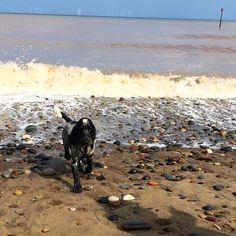 #seaside #withernsea #cockerspaniel