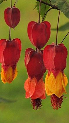 25 Red Orange Bleeding Heart Seeds Dicentra Spectabilis Shade Flower Garden Perennial Bush Hardy Romance Ornamental Exotic Tropical Plant by ToadstoolSeeds on Etsy Unusual Flowers, Unusual Plants, Exotic Plants, Tropical Plants, Amazing Flowers, Beautiful Flowers, Tropical Flowers, Shade Flowers, Orange Flowers