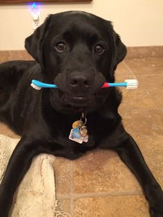 "Ryder is the mascot for Consilience and Tre Anelli wines in Los Olivos, CA in the Santa Ynez Valley. Jodie Boulet-Daughters tells us, ""We're making a wine in his honor called The Ryder, debuting this summer—with paw prints and all.  He truly loves getting his teeth brushed (no lie!).""  Ryder's sure grown up since his first cameo on our Facebook page in 2012! What a cutie. #winerypets"