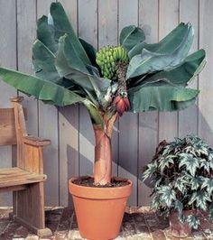 Growing Fruit Trees in Containers - Gardening Site Fruit Garden, Edible Garden, Tropical Garden, Vegetable Garden, Tropical Fruits, Tropical Plants, Potted Trees, Trees To Plant, Como Plantar Banana