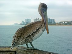 Pelican, Pompano Beach, Florida (sadly will never go there again!)