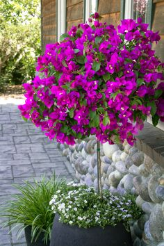 Wonderful Bougainvillea Trellis Ideas Bougainvillea Vines – Elegantly Twine Up a Trellis Wonderful Bougainvillea Trellis Ideas. Bougainvillea has been considered as one of the bright and colo… Bougainvillea Trellis, Outdoor Planters, Outdoor Gardens, Container Plants, Container Gardening, Gardening Tips, Types Of Purple Flowers, Tropical Garden, Garden Pots