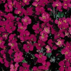 Cascade Red rock cress seeds - Garden Seeds - Perennial Ground Cover Seeds