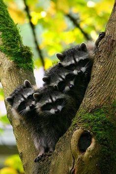 Beautiful Raccoons