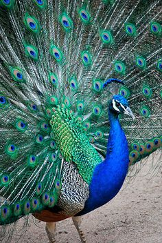 The Majestic India-blue Peacock: Pavo cristatus Peacock Wall Art, Peacock Painting, Peacock Bird, Peacock Feathers, Peacock Colors, Peacock Eggs, Peacock Drawing, Peacock Images, Peacock Pictures
