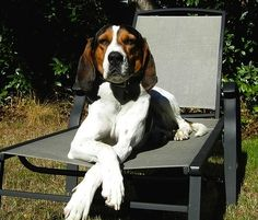 This isn't my Cam but looks just like him. love my hound